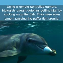 Dolphins Can Also Get High