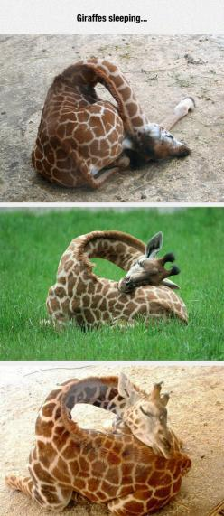 Ever Seen A Giraffe Sleeping?