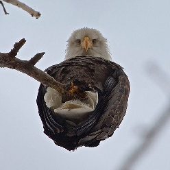 An Eagle From Below
