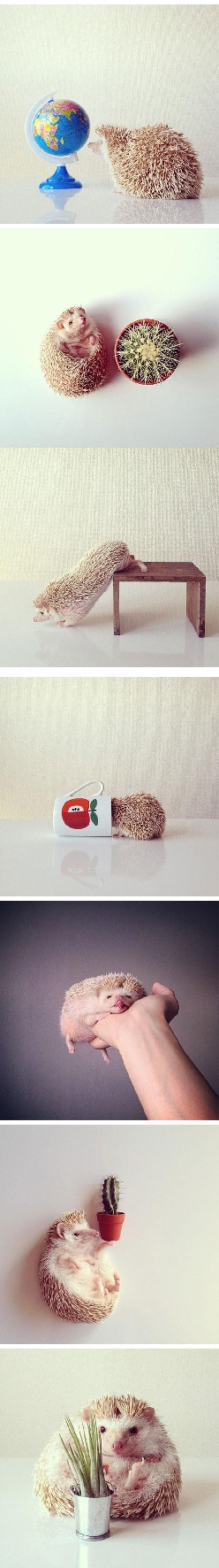Darcy, the most famous hedgehog on the Internet