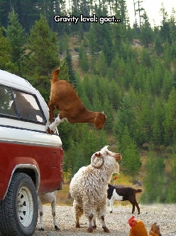 Goats Don't Believe In Gravity