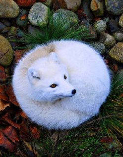 Gorgeous Arctic Fox