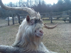 Ridiculously Photogenic Goat