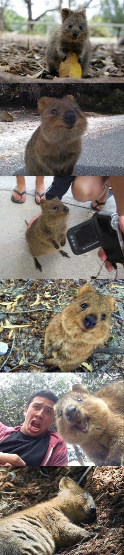 The happiest animal in the world, meet the quokka