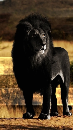 Black Lion Looks Amazing