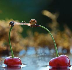 Snails Kissing On Top Of Cherries
