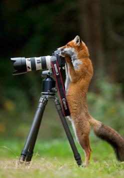 Fox With A Photography Degree