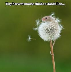 The mouse and the dandelion