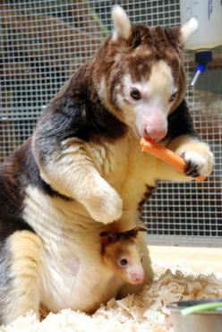 Endangered Tree Kangaroo With Baby In Pouch