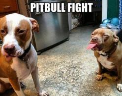 Pitbulls Fight