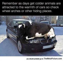 Be Cow-Ful Before You Drive