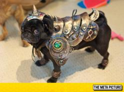 Pug Is Ready For War