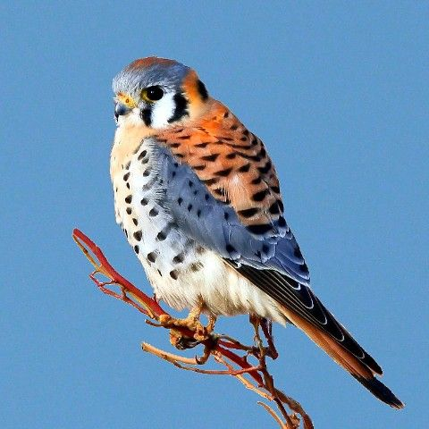american kestrel pictures | An American Kestrel enjoying the view about 8 miles west of Guymon ...: American Kestrel Jpg 480 480, Bartlesville Oklahoma, Birds American, American Kestrel 1, American Kestel, Prey