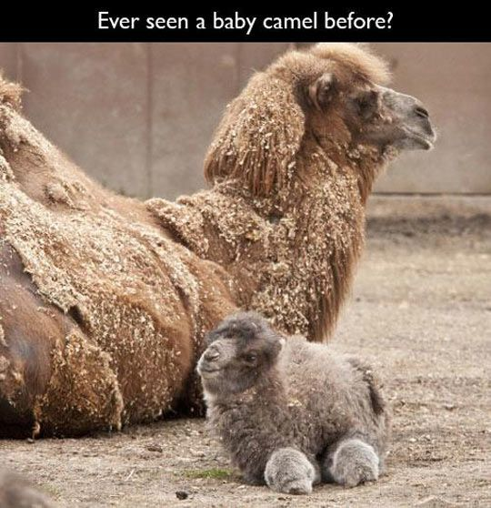 baby camel is so floofy: Babies, Cuteness, Adorable Animals, Creatures, Camels, Funny, Baby Animals, Things