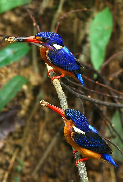 Blue-eared kingfisher. The usual habitat is pools or streams in dense evergreen forest and sometimes mangroves, situated under 1,000 metres (3,300 ft) of altitude.: Azure Kingfisher, Beautiful Birds, Beautifulbirds, Bird Watching, Blue Eared Kingfishers,