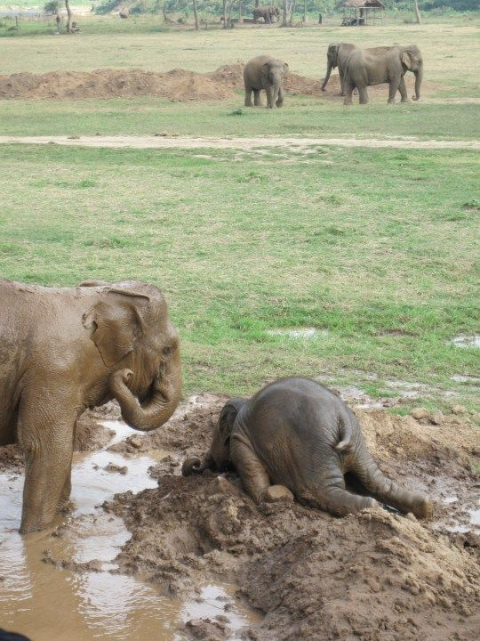 "Haha--Sometimes, the adolescent elephant will throw itself upon the ground as a sign of extreme emotional distress, commonly known as a ""tantrum.""  They do it too!!! Another reason elephants are my favorite!!!: Babyelephants, Babies, Animals, Mud,"