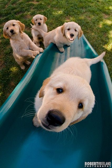 ...learning the ropes..our Golden plays on the slide all the time..but he had to learn..it is a sight to see those babies in training to be emotional support for their kiddos...: Animals, Dogs, Golden Retrievers, Pet, Puppys, Labrador, Friend, Golden Retr