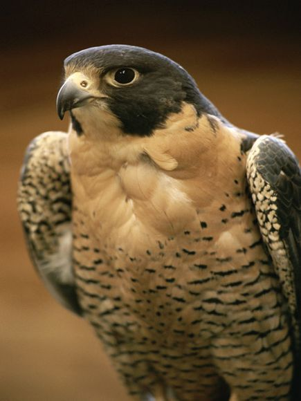 Once an endangered species in the United States, North American peregrine falcon populations have made a great comeback due to bans on usage of DDT and similar pesticides. Photograph by Michael Melford    ..z: Birds Of Prey, Animals, Endangered Species, F