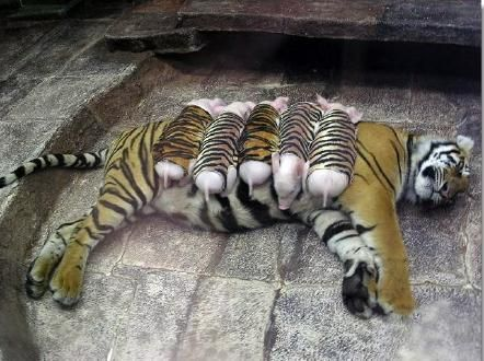 read this story!: Wrapped Piglets, Tiger Lost, Premature Labour, Zoologists Wrapped, Tiger Print Cloth, Mother Tiger, Tigers, Health Declined, Animal