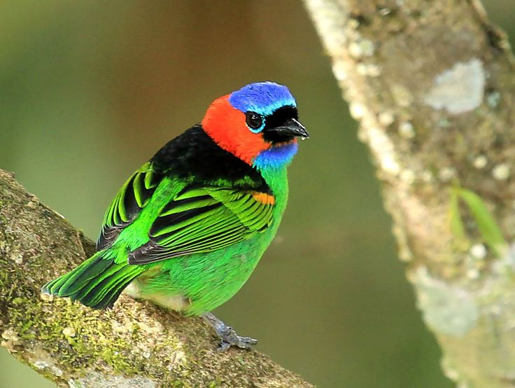 Red-necked Tanager (Tangara cyanocephala) what a beauty!: Animals Birds Butterflies, Beautiful Birds, Animals Birds Flower