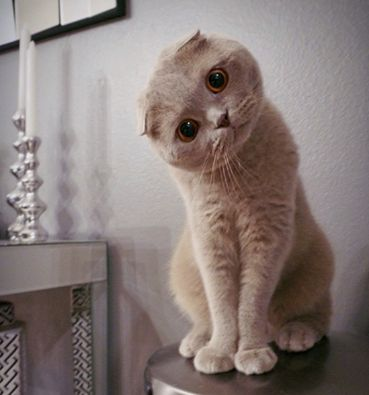 """* * SCOTTISH FOLD: """" Ands wut woulds humans be without love?"""" [""""RARE"""", said Death.] ~Terry Pratchett: Kitty Cats, Face, Animals, Cute Cats, Photo, Tricks Cats, Human"""