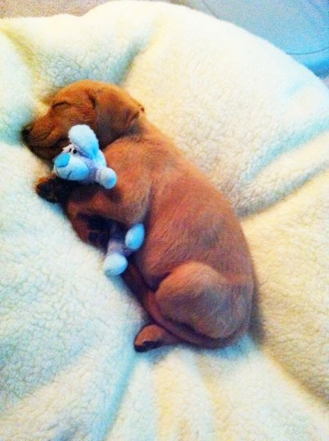 So adorable   ...........click here to find out more     http://googydog.com: Puppies, Animals, Dogs, So Cute, Snuggle, Pet, Puppys, Friend, Sweet Dream