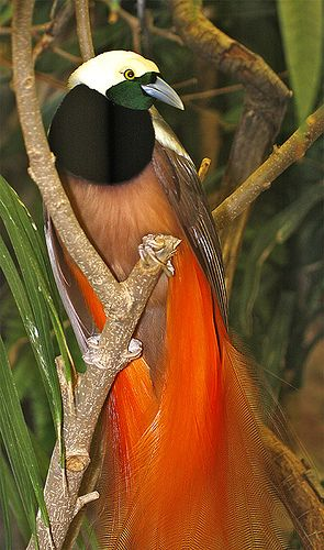 Spectacular Bird of Paradise with their striking plumage & long sweeping tail feathers, found in the dense forests of New Guinea!: Poultry, Of Paradise, Beautiful Birds, Animals Birds, Bird Of Paradise, Birds Of Paradise, Raggiana Bird