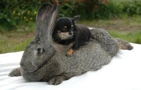 thats a big bunny: Animals, Dogs, Flemish Giants, Flemish Giant Rabbit, Bunnies, Chihuahua, Friend