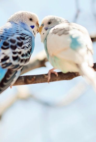 The Budgerigar, also known as common pet parakeet or shell parakeet and informally nicknamed the budgie, is a small, long-tailed, seed-eating parrot.  Scientific name: Melopsittacus undulatus: Kiss, Parakeets, Animals, Budgies, Parrots, Beautiful Birds