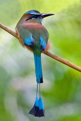 The turquoise-browed Motmot is a beautifully colored medium sized bird that lives from the Yucatan Peninsula in Mexico down to Costa Rica. It is quite common in Central America. In fact El Salvador and Nicaragua made it their national bird.: Turquoise Bro