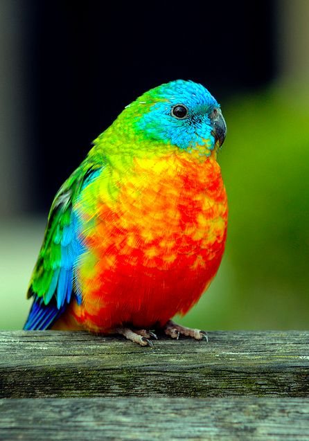 The Turquoise Parrot (Neophema pulchella) is a parrot previously widespread in Eastern Australia, though now mainly found in northeastern New South Wales and north-eastern Victoria. A small parrot at around 20 cm long, the male is predominantly green in c