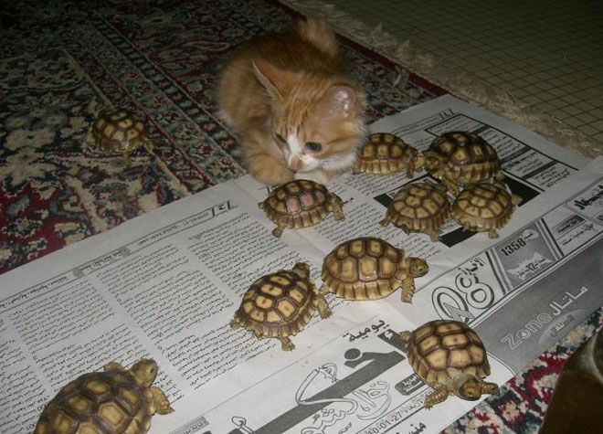 turtles... turtles everywhere...: Cats, Picture, Baby Tortoise, Babies, Animals, Kittens, Things, Kitty, Baby Turtles