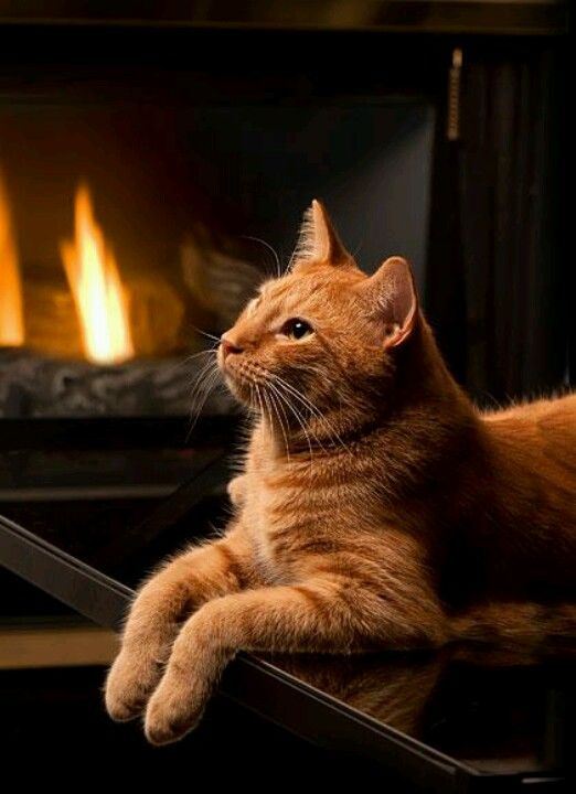 Warm by the fire.        Come on over here by me , my little flower , and we will get some schompania !: Kitty Cats, Tabby Cats, Animals, Orange Tabby Cat, Beautiful, Orange Cats, Kitty Kitty, Ginger Cats, Fireplace