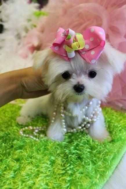 10 Dog Breeds That are Only For Rich Owners: Maltese Puppy, Pet, Puppys, Adorable, Box, Baby, Cats Dogs Animals, Teacup Dogs, Teacup Maltese Puppies