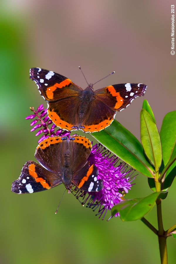 """Dual"" ( Red Admiral butterflies ): Beautiful Butterflies, Animals, Admiral Butterflies, Photos Artwork, Butterfly Mariposas, Photograph Dual, Butterfly Garden"