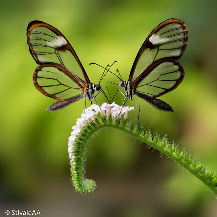 """""""Glasswinged butterflies by Stivale AA via 500px."""" Didn't even know anything like this existed. Day has been made! :D: Beautiful Butterflies, Butterfly, Stivale Aa, Animals, Glasswinged Butterflies, Nature, Photo"""