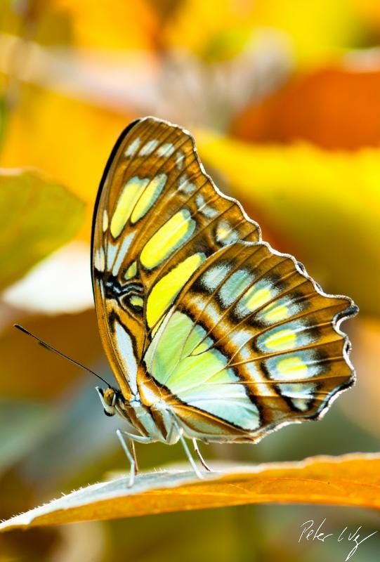 """"""" Malachite #Butterfly """" by Peter Wey  Make the world you live in more beautiful. #Volunteer at www.ACRescueMission.org  