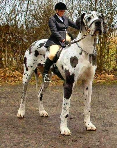 5 Biggest Dogs You have Ever Seen: Big Guy, Dogs, Pets, Stable, Biggest Dog, Animal