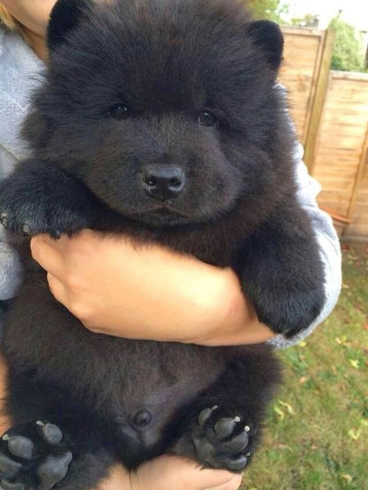 8 Signs That Your Dog Actually Loves You: Animals, Dogs, Pet, Bears, Puppys, Chow Chow Puppies