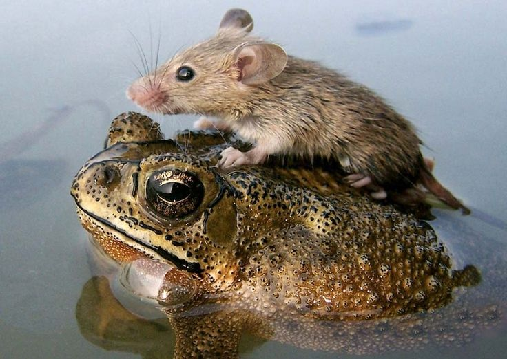 A mouse rides atop a frog to escape monsoon flooding in India.....National Geographic: Mice, Animal Friendship, Mouse, Animals, Creature, Odd Couples, Frogs, Photo