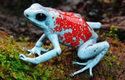 "A Multitude of Morphs: Harlequin Dart Frogs - Pictured here is the Koi morph. These are Harlequin Poison Dart Frogs (Oophaga histrionica, Oophaga sylvatica - two ""different"" [this is debated] species). These creatures come in a multitude of color"