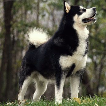 Alaskan Malamute - Large Dog Breed profile: Breed Profile, Pet, Large Dogs, Large Dog Breeds, Husky, Alaskan Malamutes, Dog Breeder, Animal