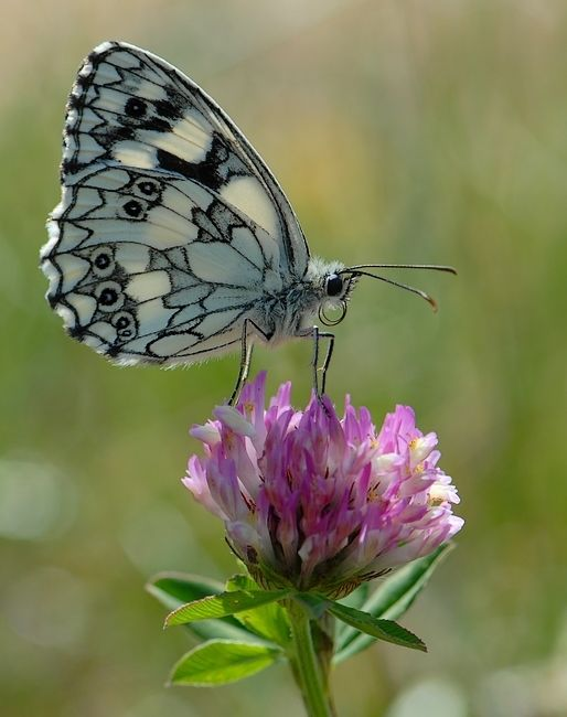 amazing black and white butterfly.  I don't see many butterflies compared to when I was a child?  I think they're killed when pesticides are used everywhere.  They kill the Good with the bad! :(: Beautiful Butterflies, Butterfly, White Pattern, Fl