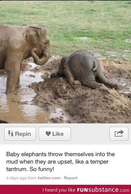 Angry baby elephant: Angry Baby, Baby Elephants, Angrybaby Elephant, Baby Elephant I, Mad Baby, Animal, Throwing Tantrum