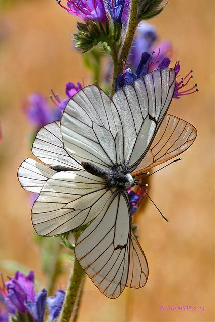 Aporia crataegi, Black-veined white Butterfly: Beautiful Butterflies, Butterfly, Flutterby, Moth, Animal