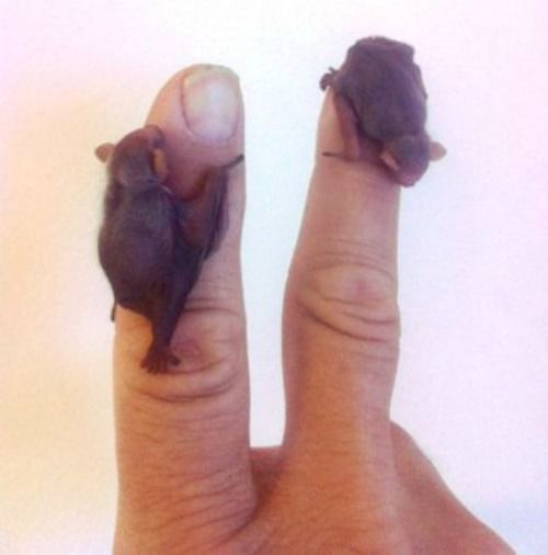 baby bats so tiny they can cuddle your finger: Babies, Critters, Stuff, Babybats, Creatures, Baby Animals, Things, Baby Bats, Tiny Bats