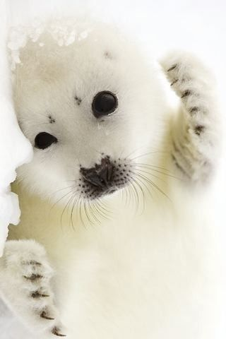 Baby harp seals r my favorite animal and if it was legal this is the only pet I would ever consider having haha: Sweet, Beautiful Animals, Box, Baby Animals, Baby Harp, Baby Seals