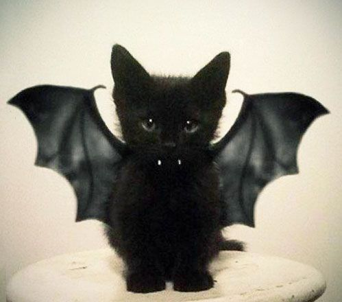 batcat: Batcat, Cats, Animals, Vampire, Bats, Kitty, Black Cat, Halloween