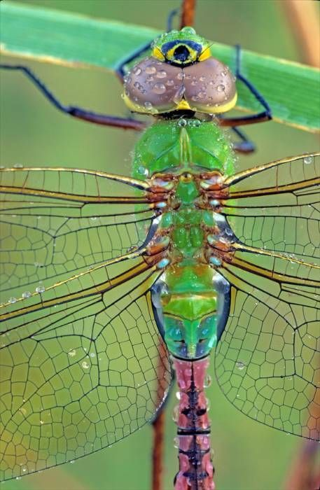 Beautiful colors: Evans Nature, Photographers, Dragon Flies, Photographer Middleton, Middleton Evans, Dragonfly, Dragonflies, Animal