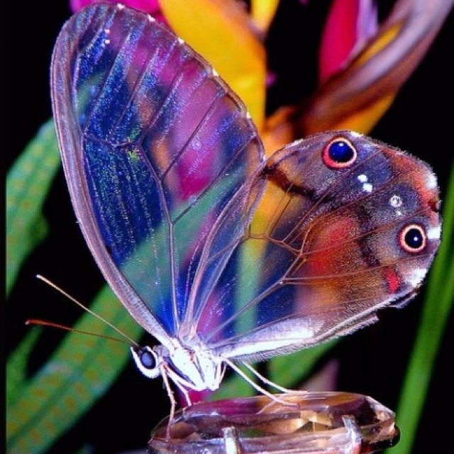 Beautiful colours in the butterfly. Loving how the  transparent nature of the wings creates multiple layers to this photo.: Beautiful Butterflies, Animals, Nature, Glasses, Color, Wings, Wing Butterfly, Glass Wing